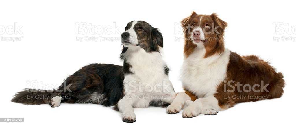 Pair of mixed-breed dogs in front of white background stock photo