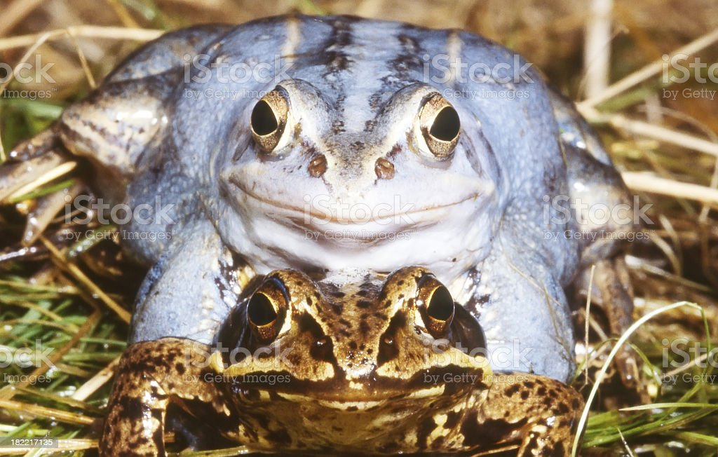 Pair of Moor Frog (Rana arvalis) mating royalty-free stock photo