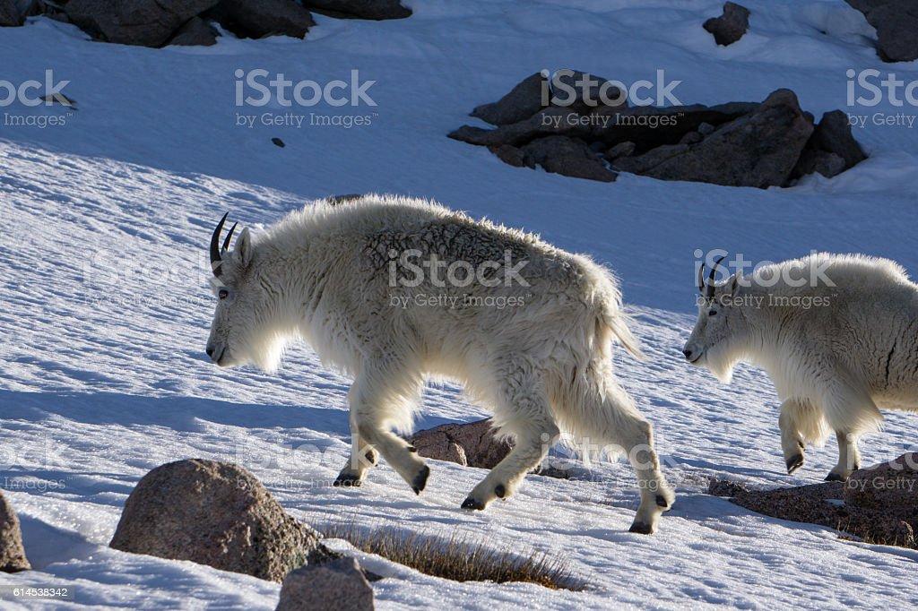 Pair of Mountain Goats stock photo