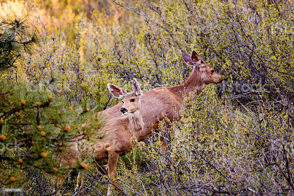 Pair of Mule Deer Does in the Pike National Forest stock photo