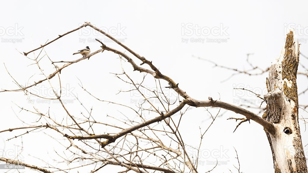 Pair of Nesting Black Capped Chickadees stock photo