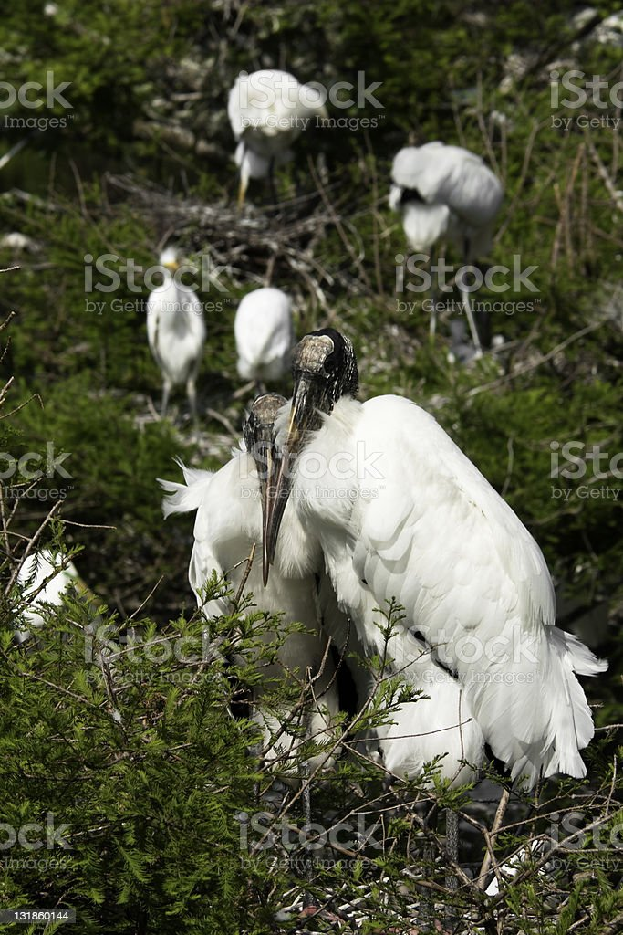 Pair of Nesting Wood Storks stock photo