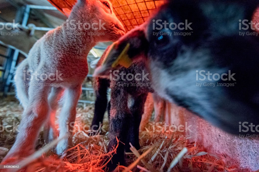Pair of New Born Lambs Resting Under a Heat Lamp stock photo