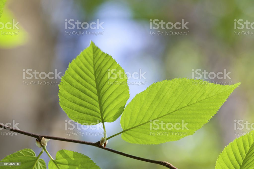 Pair of new spring leaves stock photo