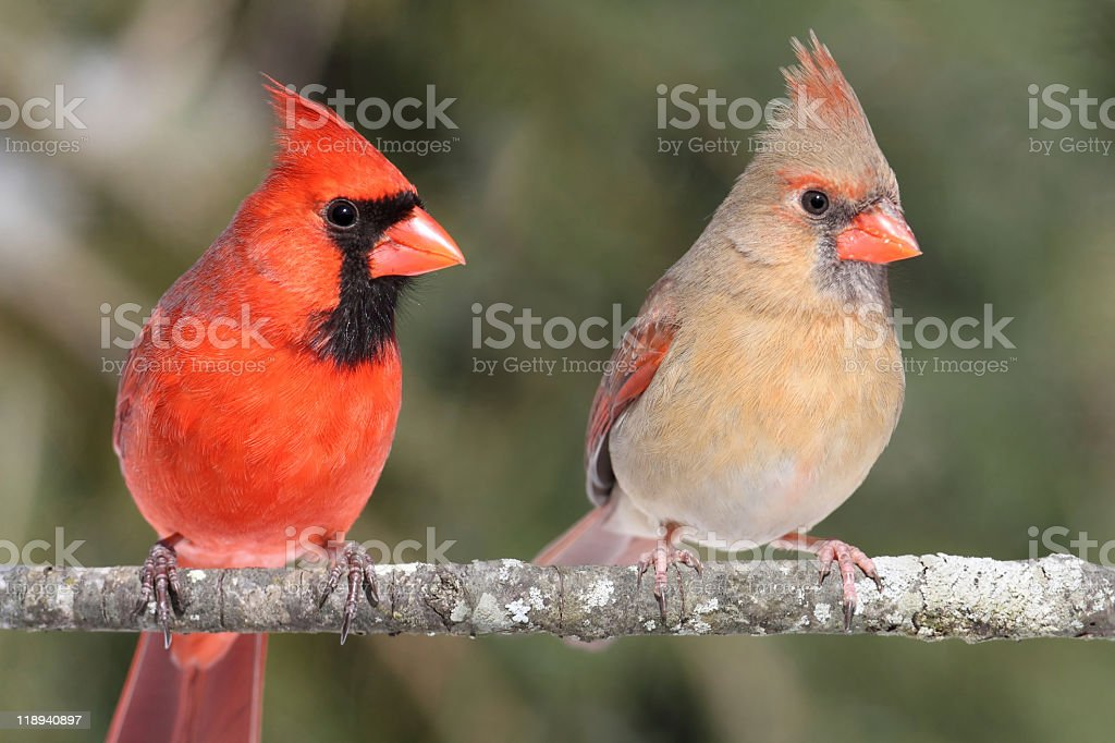 Pair of Northern Cardinals on tree branch stock photo