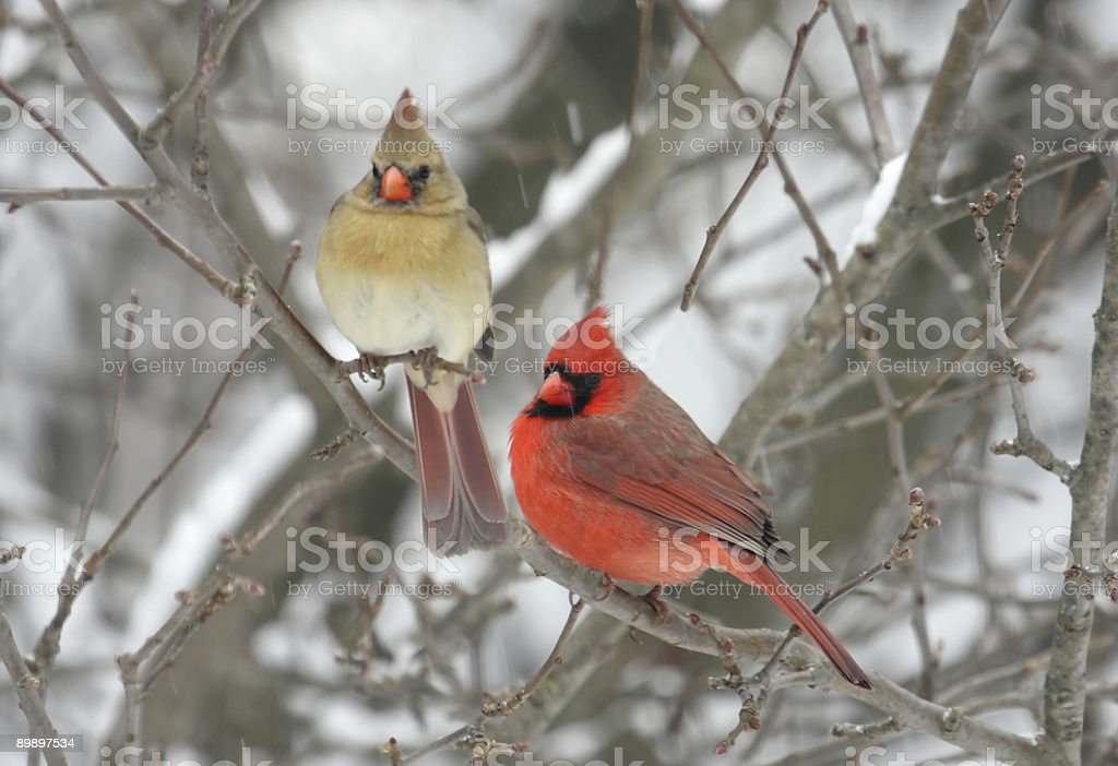 Pair of Northern Cardinals royalty-free stock photo