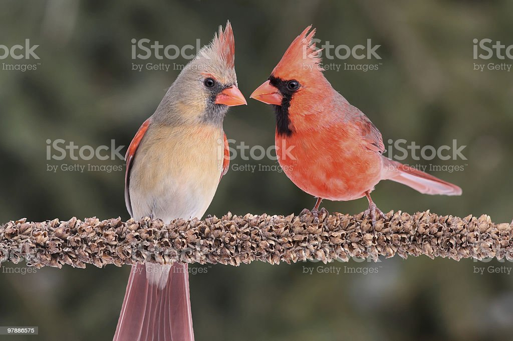 Pair of Northern Cardinals stock photo