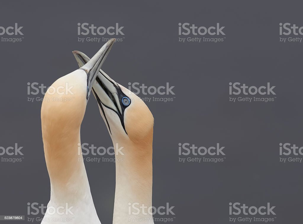 Pair of northern gannet rubbing beaks signaling harmony and peace stock photo