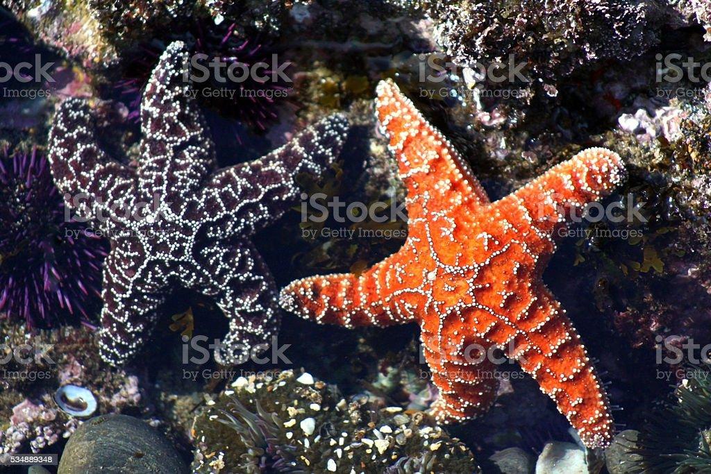 Pair of Ochre Starfish in Tidepool: Purple and Orange stock photo