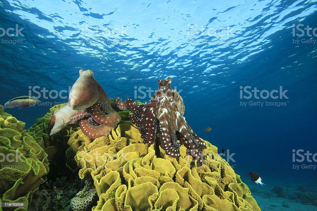 Pair of Octopus stock photo
