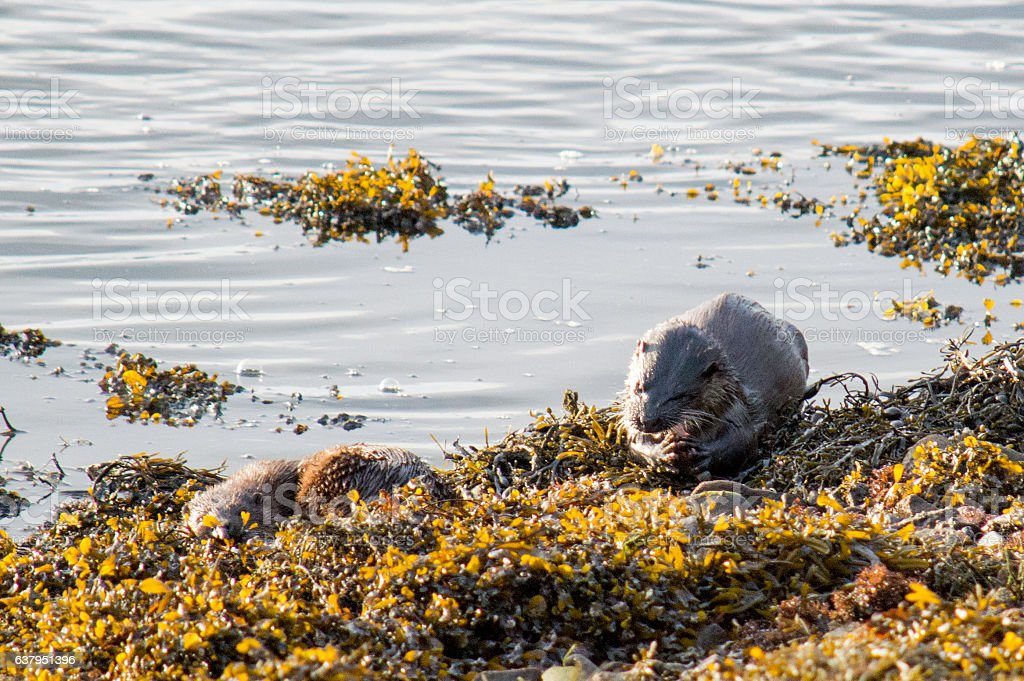 pair of otters, one resting and one eating stock photo