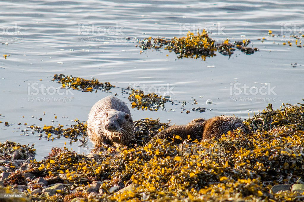 Pair of otters stock photo