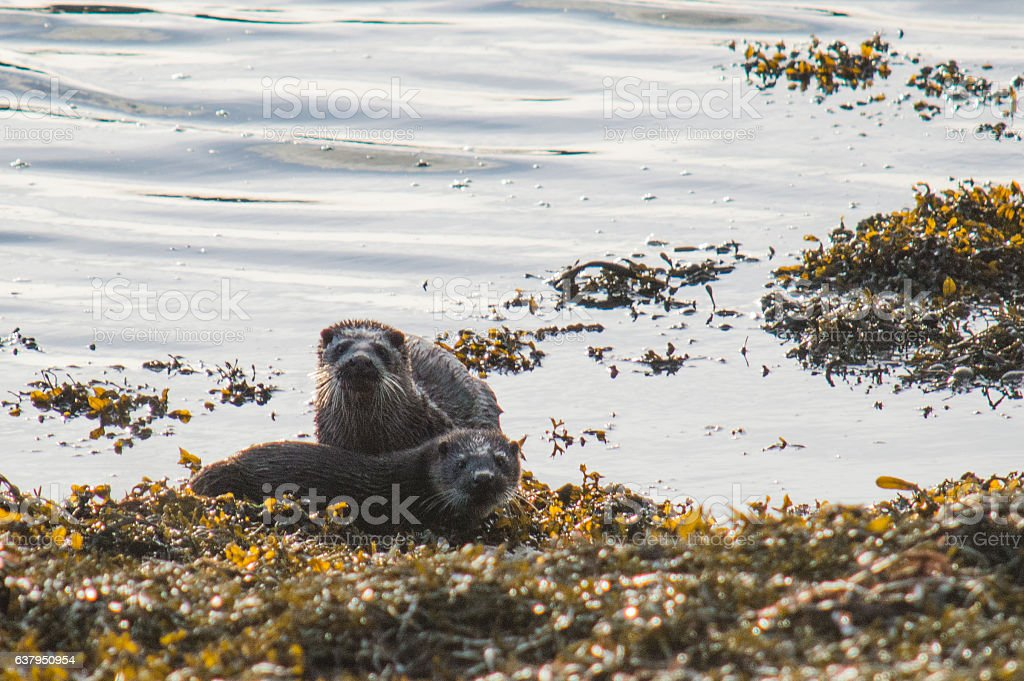 Pair of otters resting on seaweed bank stock photo