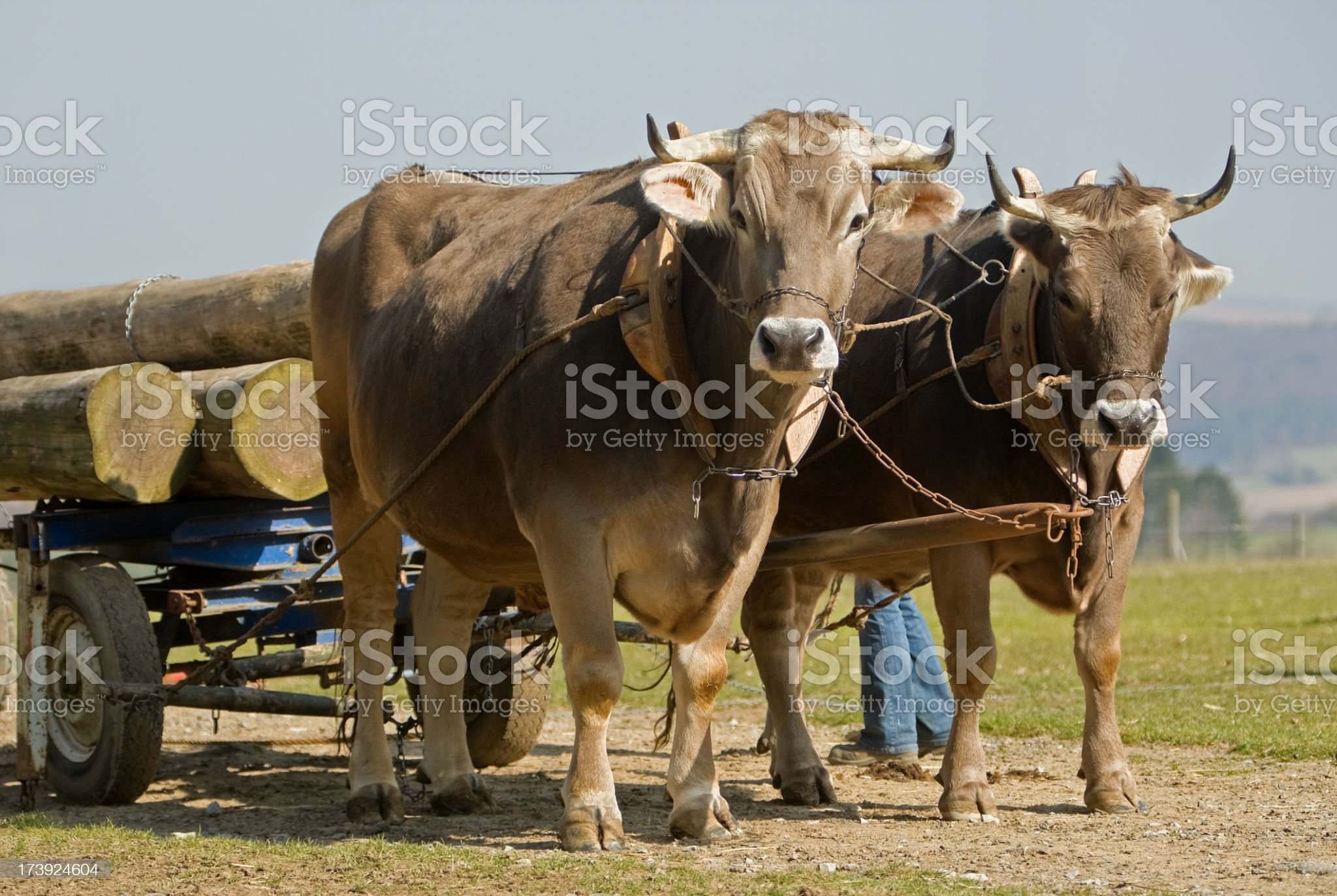 Pair of oxen hauling logs in field royalty-free stock photo