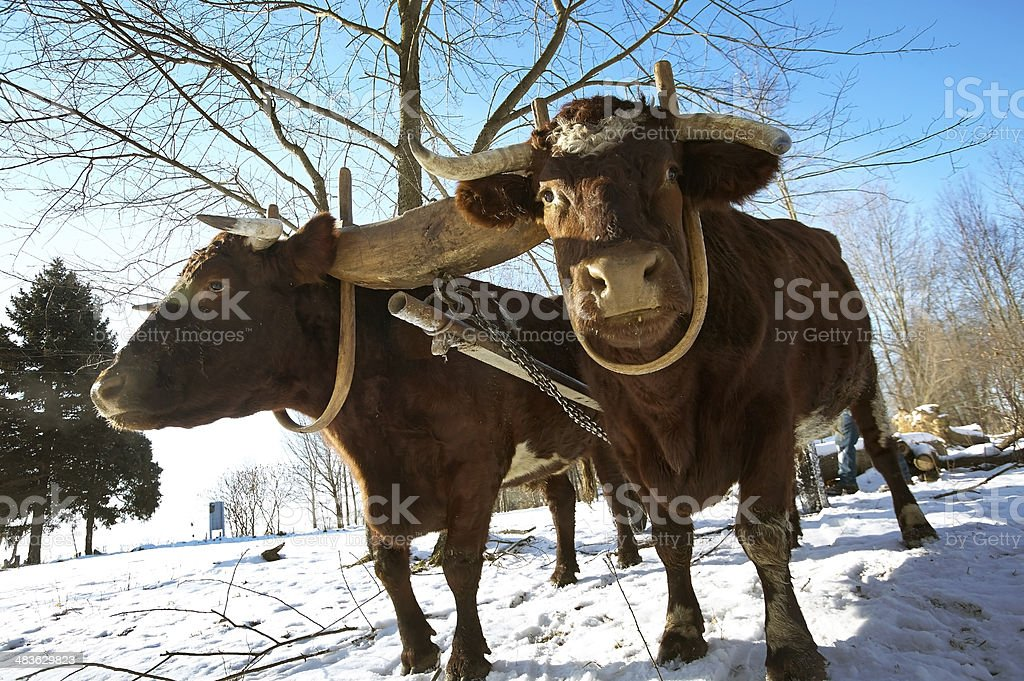 Pair of Oxen stock photo