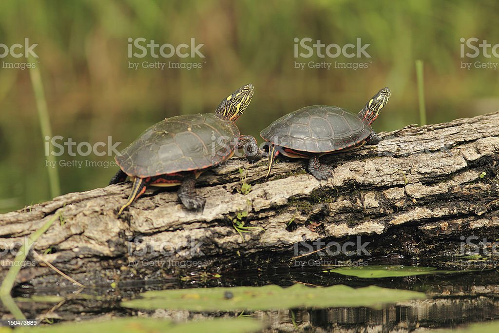 Pair of Painted Turtles on a Log stock photo