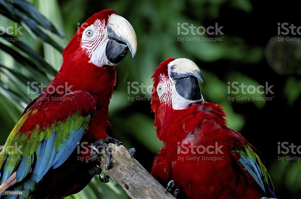 Pair of Parrots in Forest stock photo