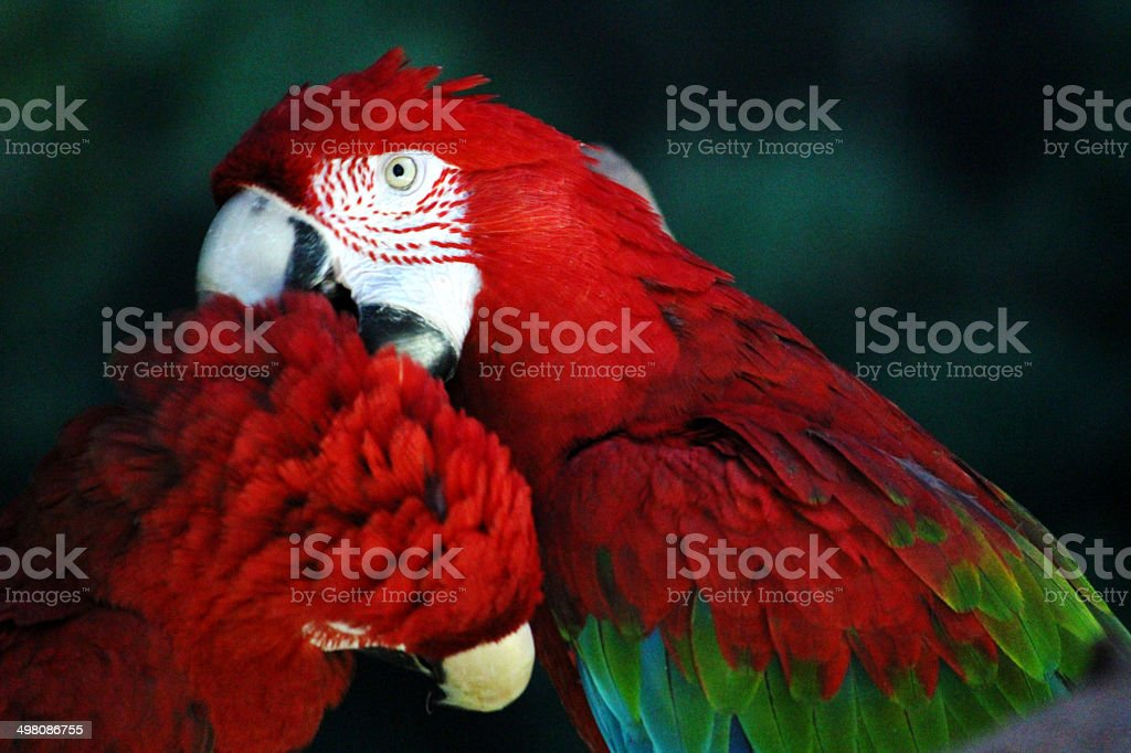 Pair of Parrots stock photo