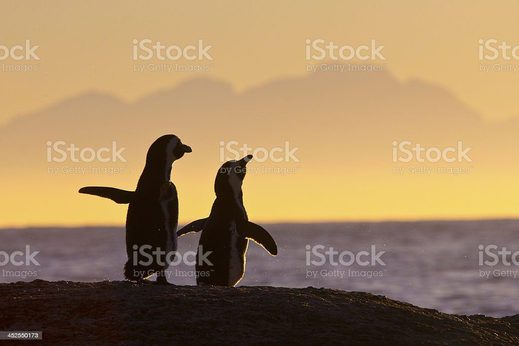 Pair of penguins standing together at sunset stock photo
