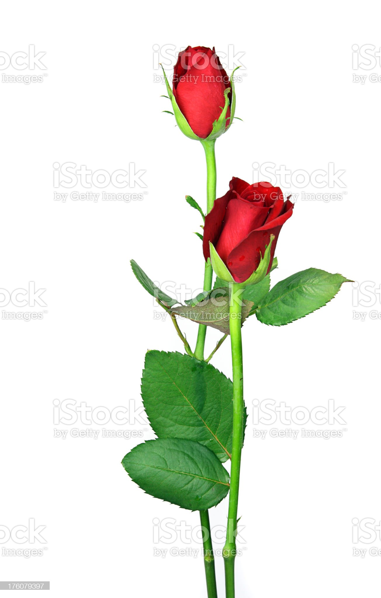Pair of perfect log stem red roses and leaves isolated. royalty-free stock photo