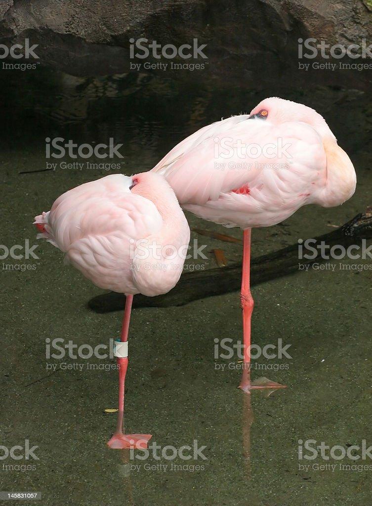 Par de rosa Flamencos foto de stock libre de derechos