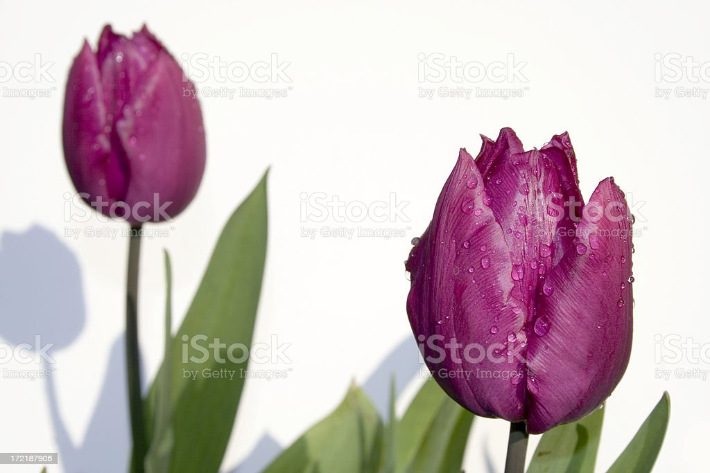 pair of pink tulips with water droplets royalty-free stock photo