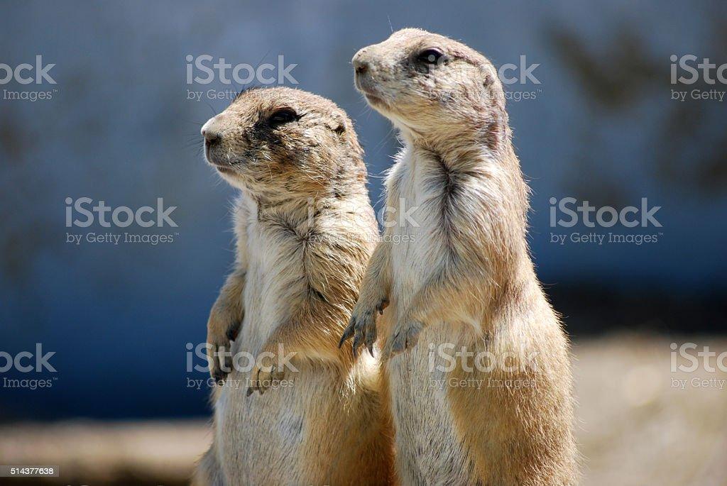 Pair Of Prairie Dogs Standing stock photo