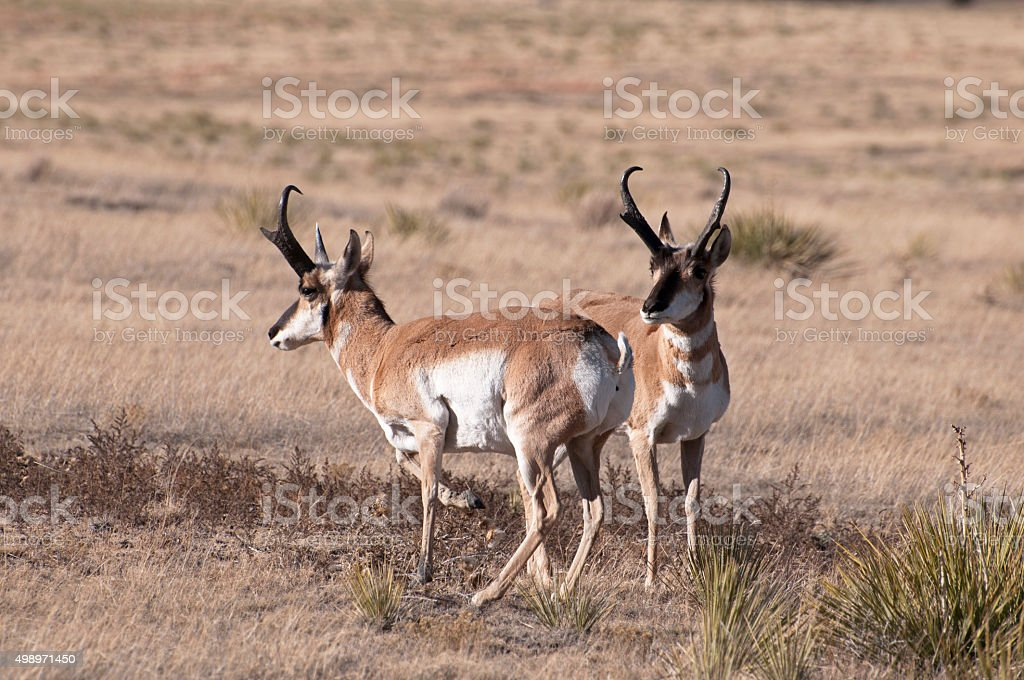 Pair of Pronghorns stock photo