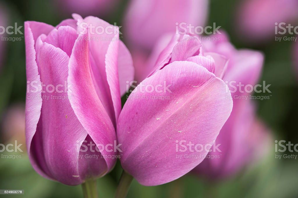 Pair of purple and lilac tulips in macro stock photo