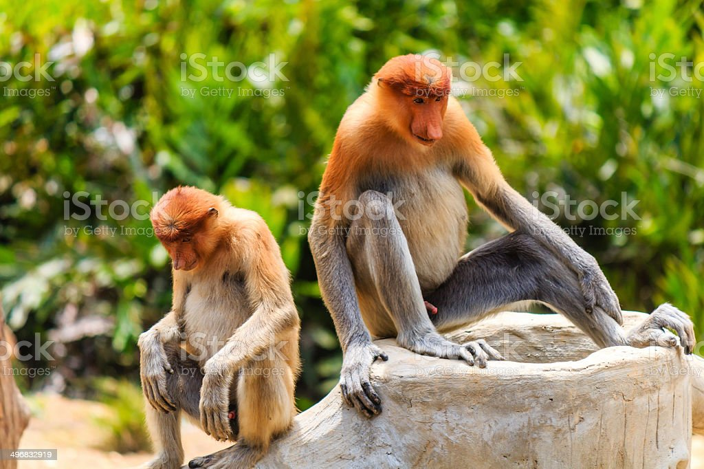 Pair of rare Proboscis Monkeys in the mangroves stock photo
