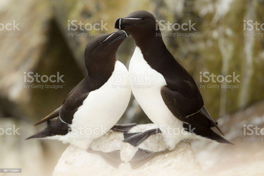 Pair of Razorbill birds grooming one another. stock photo