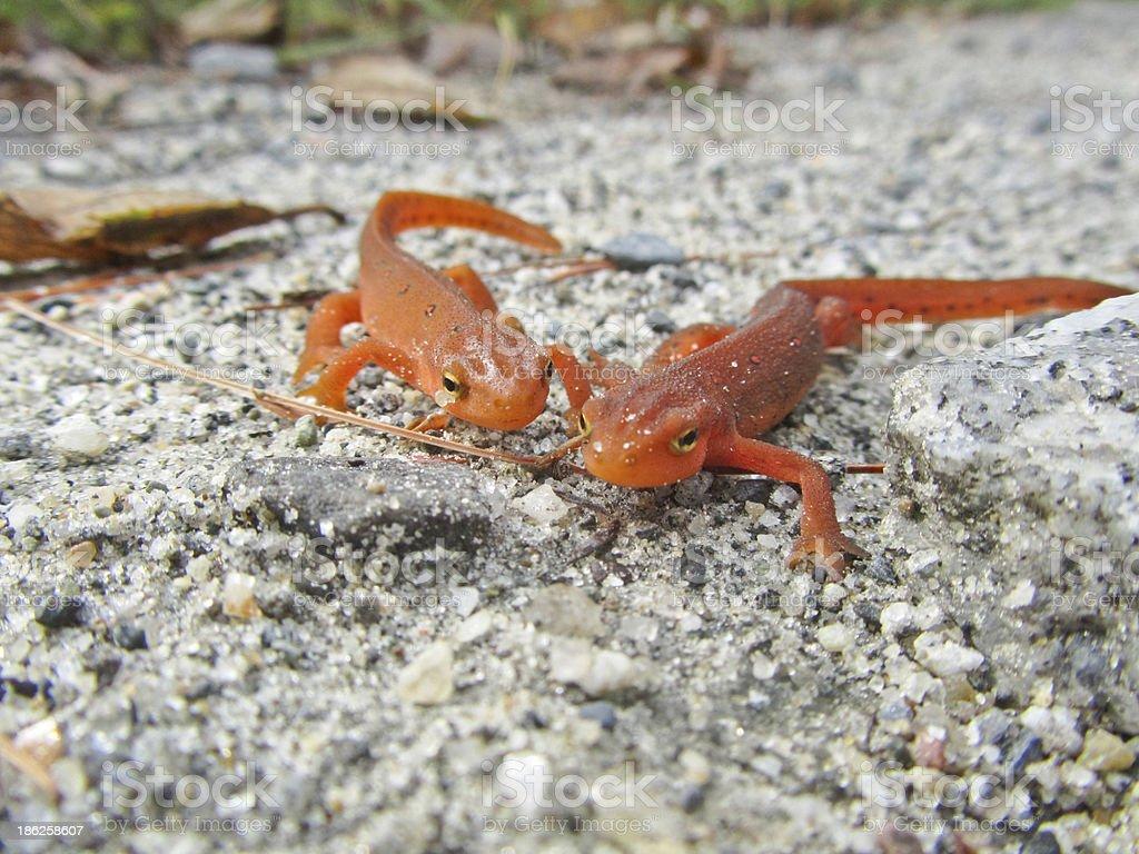 Pair of red eft newts or salamanders stock photo