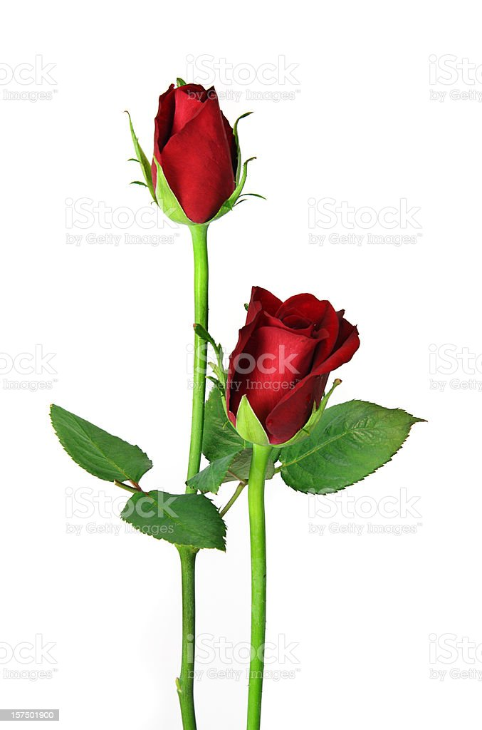 Pair of red roses isolated on white, upright close stock photo