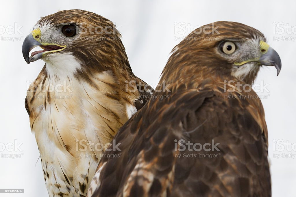 Pair of Red Tailed Hawks share a perch stock photo