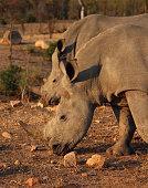 Pair of Rhinoceros grazing