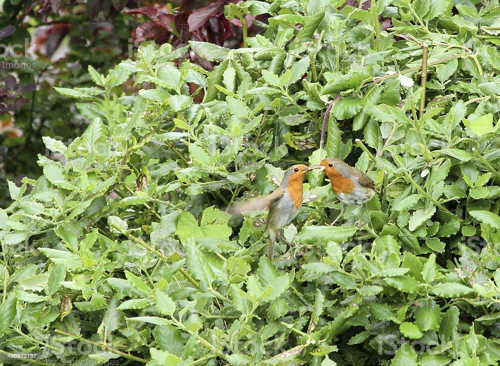 Pair of robins in garden, cock feeding hen, wild birds royalty-free stock photo