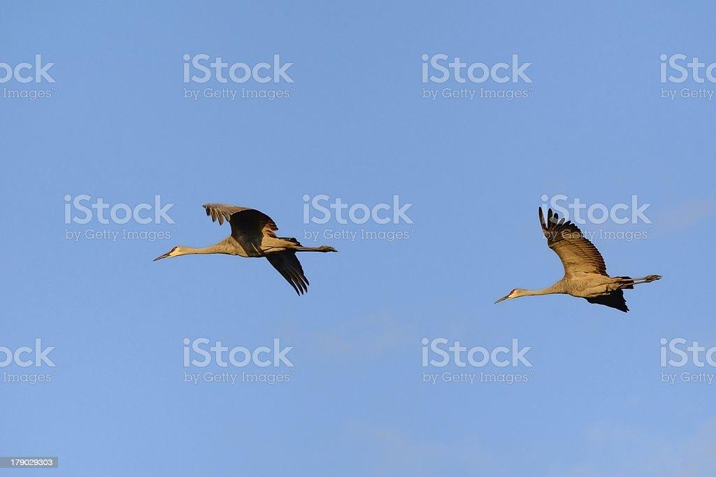 Pair of Sandhill CranesFlying royalty-free stock photo