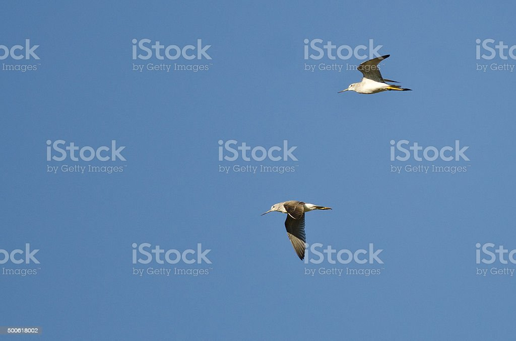 Pair of Sandpipers Flying in a Blue Sky stock photo