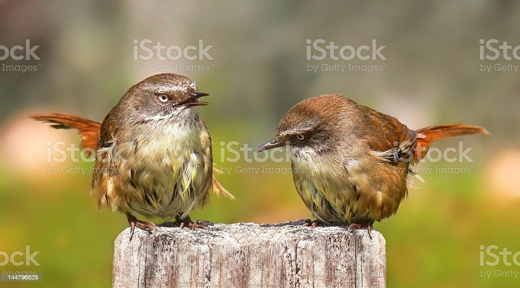 Pair of Scrub wrens stock photo
