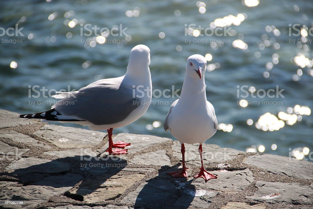 Pair of Seagull at the coast stock photo