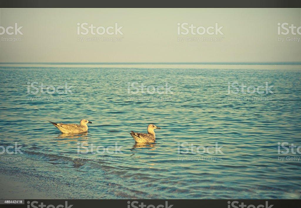 pair of seagulls floating on the sea. Bird love stock photo