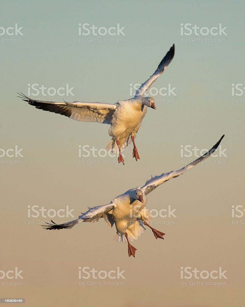 Pair of snow geese in flight stock photo