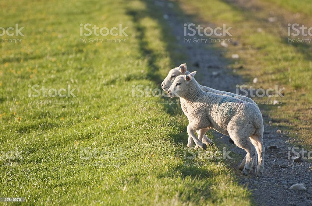 Pair of Spring lambs face sunrise in rural landscape royalty-free stock photo
