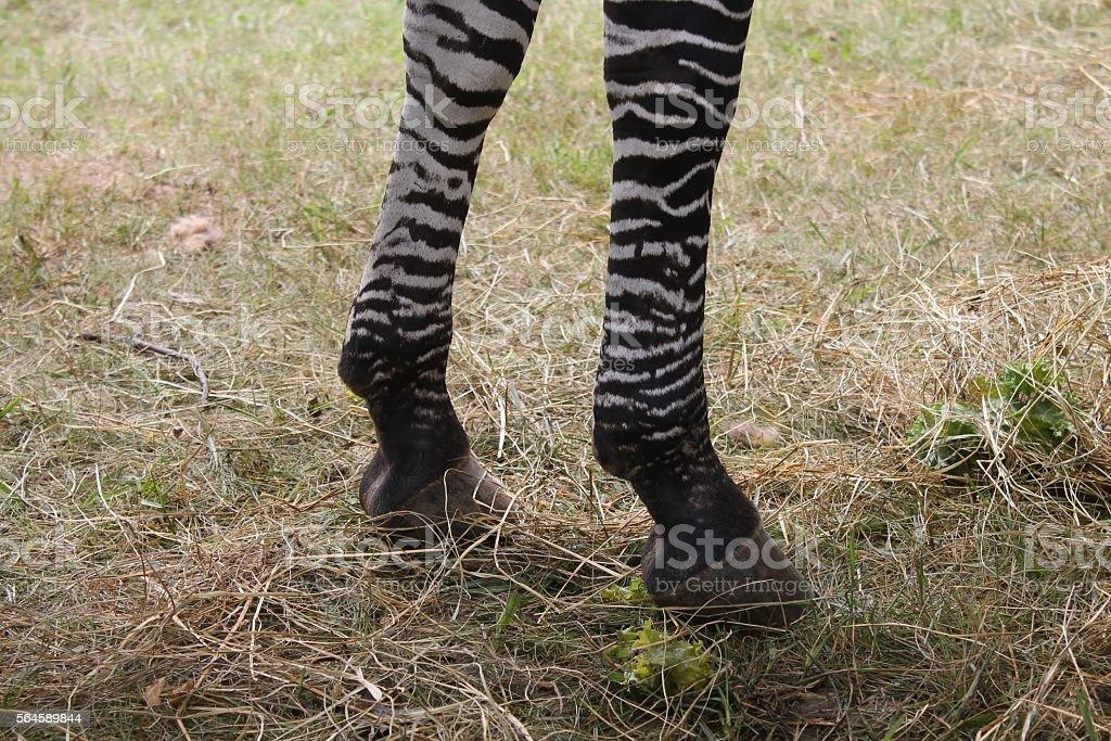 pair of striped legs stock photo