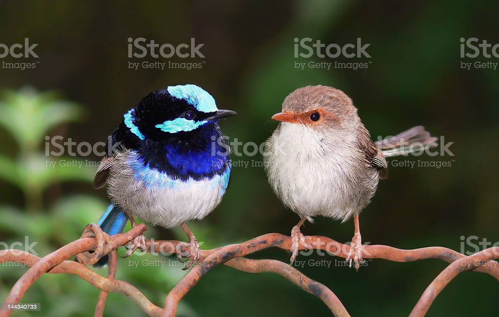 Pair of Superb Fairy Wrens royalty-free stock photo