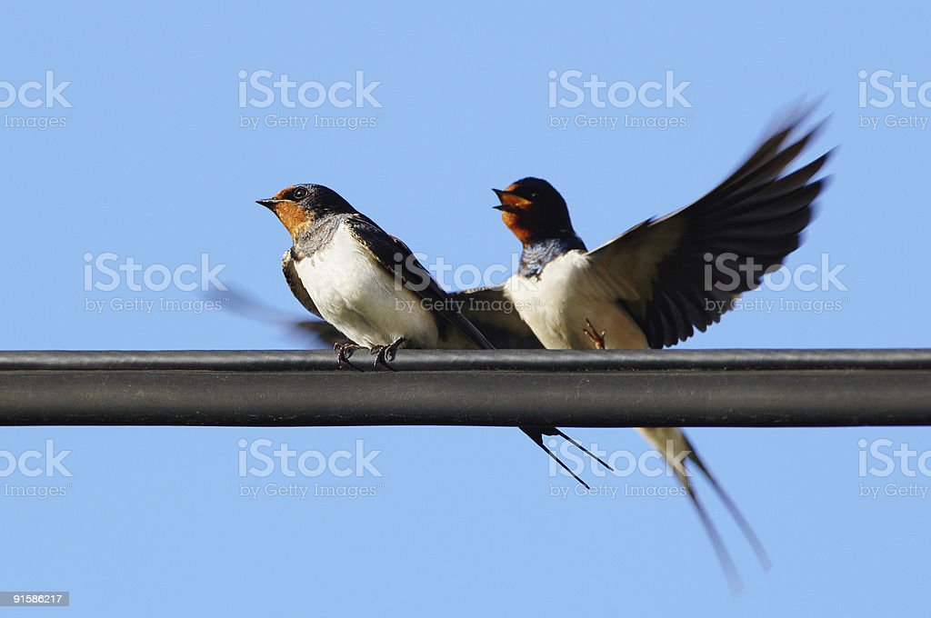 Pair of swallows royalty-free stock photo