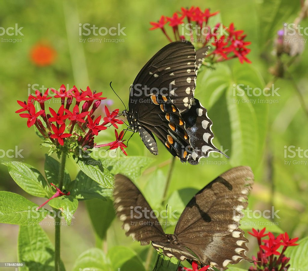 Macaón par de mariposas foto de stock libre de derechos