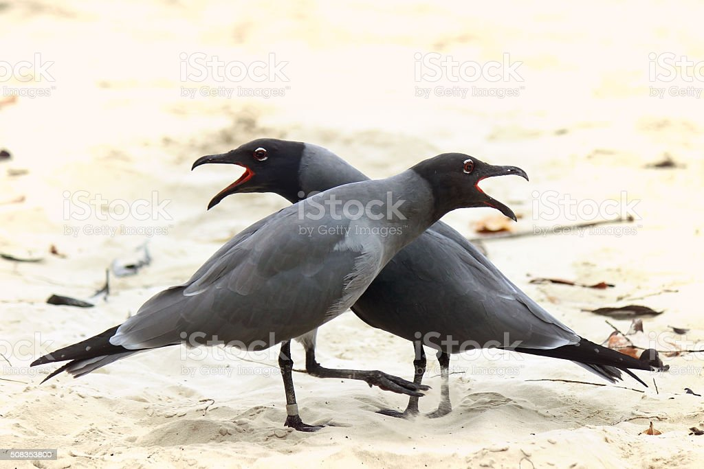 Pair of Swallow-tail Gulls in the Galapagos stock photo