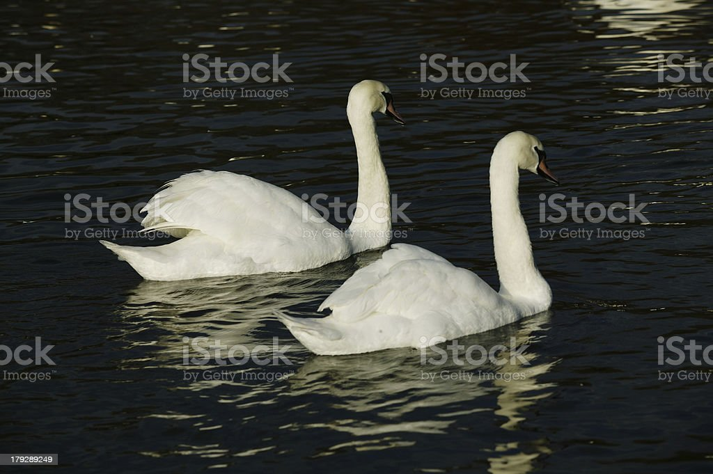 Pair of Swans on Lake royalty-free stock photo
