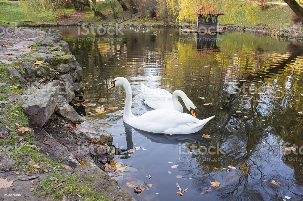 pair of swans on the water stock photo